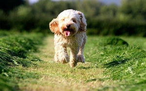 Cockapoo - Fun Facts and Crate Size