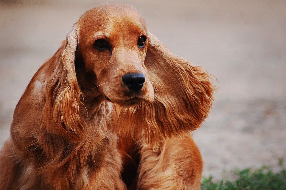 Cocker Spaniel – Fun Facts and Crate Size