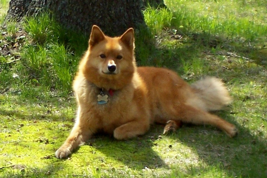 Finnish Spitz – Fun Facts and Crate Size