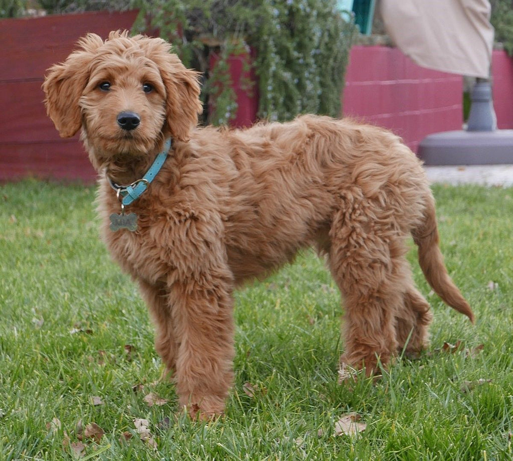 Goldendoodle - Fun Facts and Crate Size