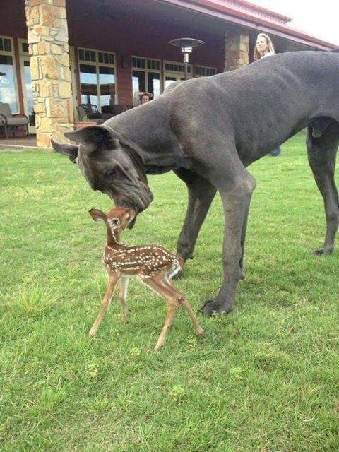 Great Dane – Fun Facts and Crate Size