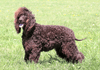 Irish Water Spaniel – Fun Facts and Crate Size