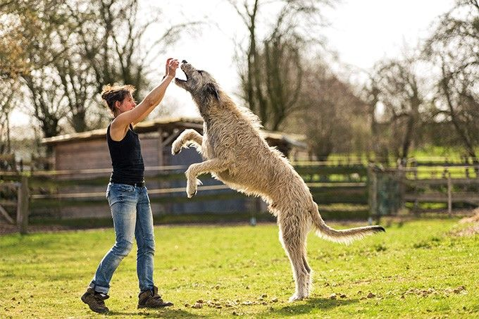Irish Wolfhound – Fun Facts and Crate Size
