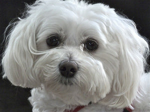Maltipoo - Fun Facts and Crate Size