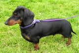 Miniature Dachshund – Fun Facts and Crate Size