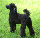 Miniature Poodle - Fun Facts and Crate Size