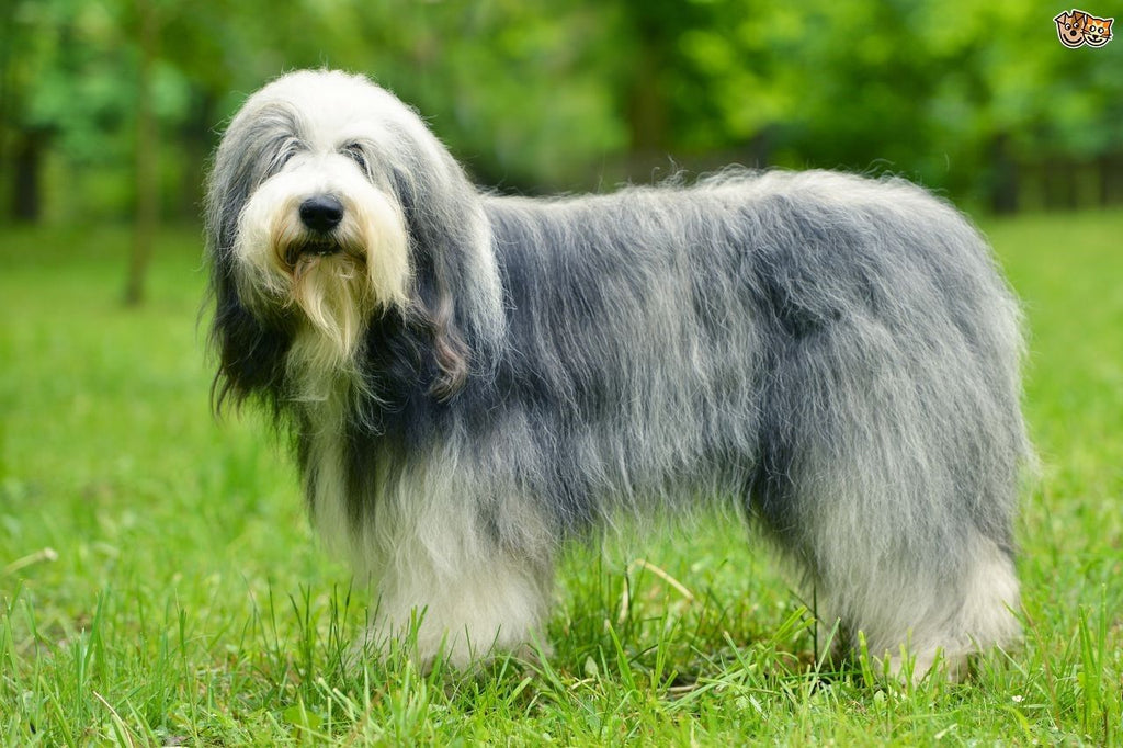 Old English Sheepdog – Fun Facts and Crate Size