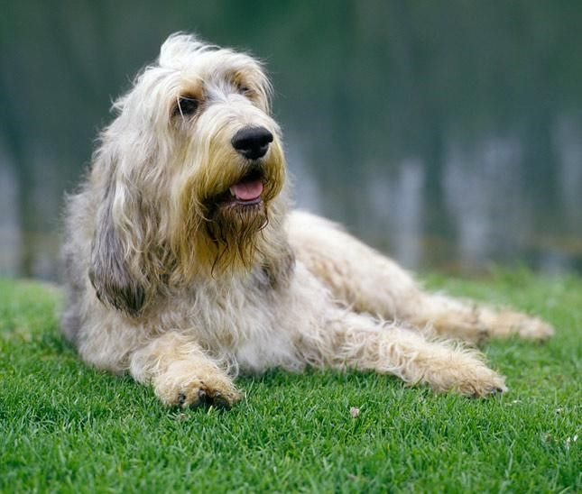 Otterhound – Fun Facts and Crate Size