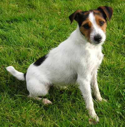 Parson Russell Terrier Fun Facts And Crate Size Pet