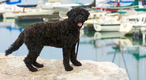 Portuguese Water Dog - Fun Facts and Crate Size