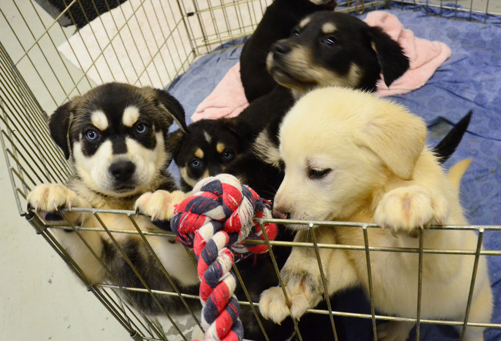 Puppy Play Pens – Everything You Need to Know