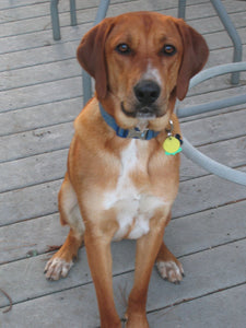 Redbone Coonhound - Fun Facts and Crate Size