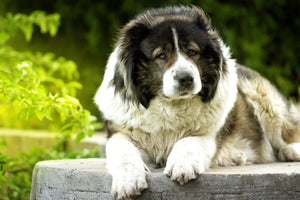 Russian Bear Dog - Fun Facts and Crate Size