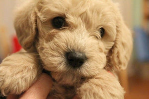 Schnoodle - Fun Facts and Crate Size