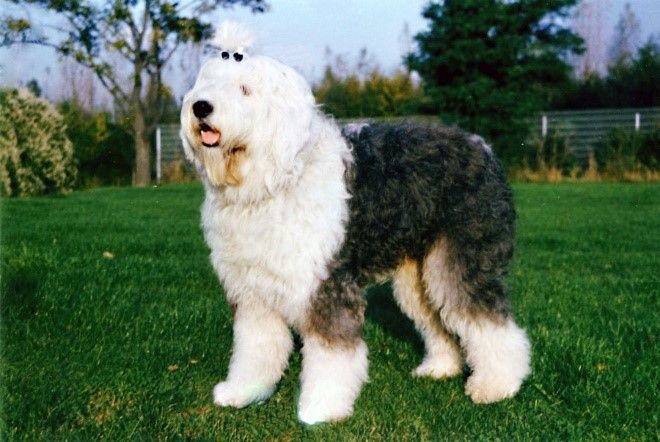 Sheepadoodle Fun Facts And Crate Size Pet Crates Direct