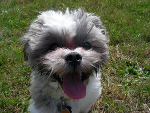 Shichon - Fun Facts and Crate Size