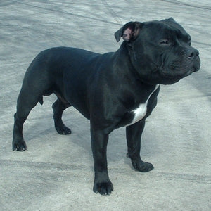 Staffordshire Bull Terrier – Fun Facts and Crate Size