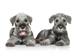 Standard Schnauzer – Fun Facts and Crate Size