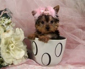 Teacup Yorkshire Terrier - Fun Facts and Crate Size