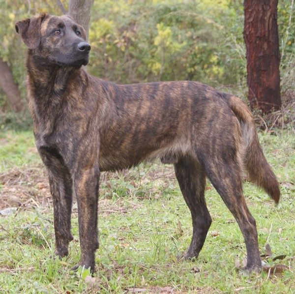 Treeing Tennessee Brindle - Fun Facts and Crate Size