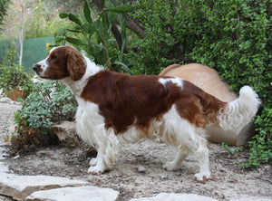 Welsh Springer Spaniel - Fun Facts and Crate Size