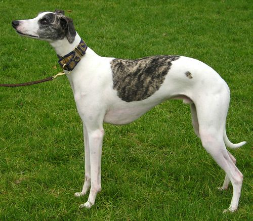 Whippet – Fun Facts and Crate Size