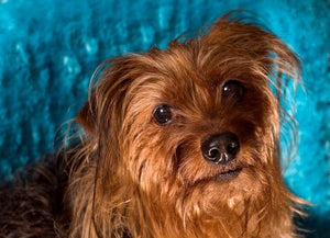 Yorkie Poo - Fun Facts and Crate Size