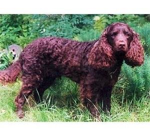 American Water Spaniel dog crate size