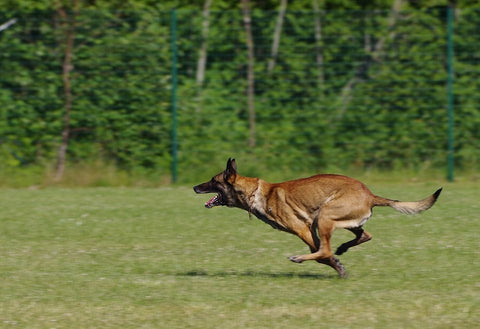 belgian malinois fun facts and crate size pet crates direct