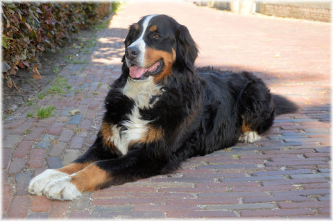 Bernese Mountain Dogs Fun Facts And Crate Size Pet