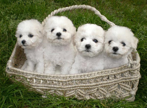 bichon frise fun facts and crate size pet crates direct