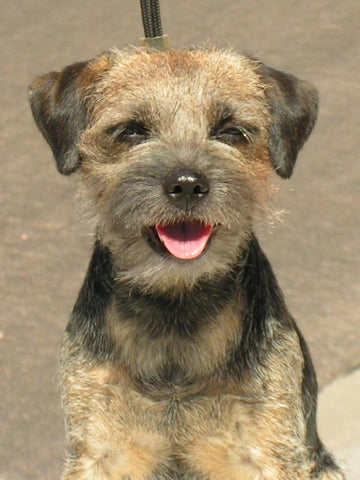 border terrier fun facts and crate size pet crates direct