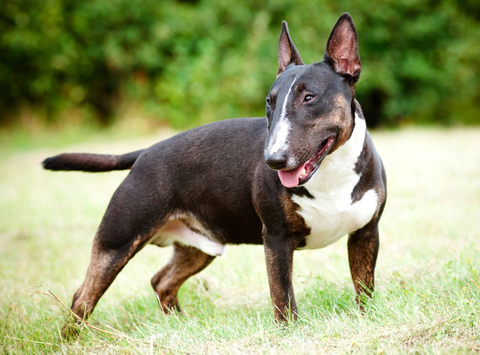 bull terrier fun facts and crate size pet crates direct