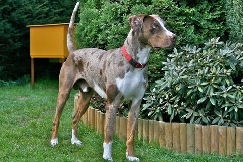 Catahoula Leopard Dog Fun Facts And Crate Size Pet