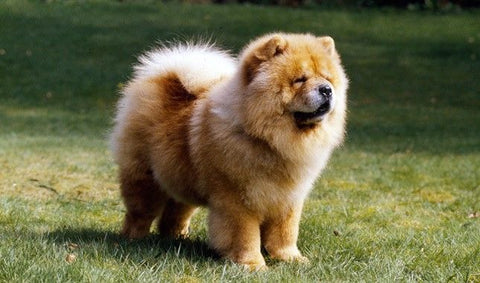 88+ Full Grown Chow Chow Size