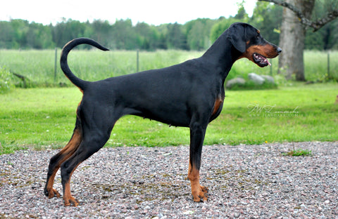 Doberman Pinscher Fun Facts And Crate Size Pet Crates Direct