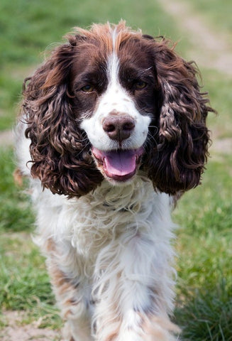 English Springer Spaniel – Fun Facts and Crate Size – Pet