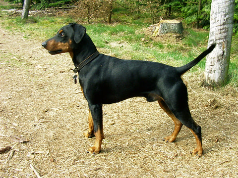 German Pinscher Fun Facts And Crate Size Pet Crates Direct
