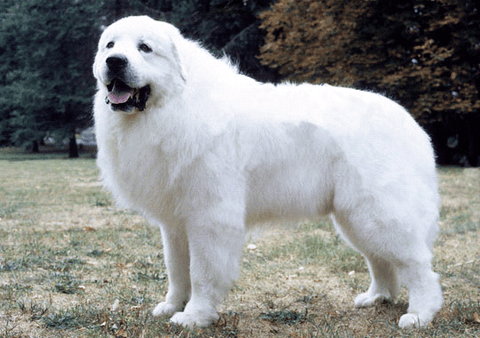 Great Pyrenees Fun Facts And Crate Size Pet Crates Direct