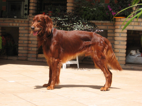 Irish Setter Fun Facts And Crate Size Pet Crates Direct