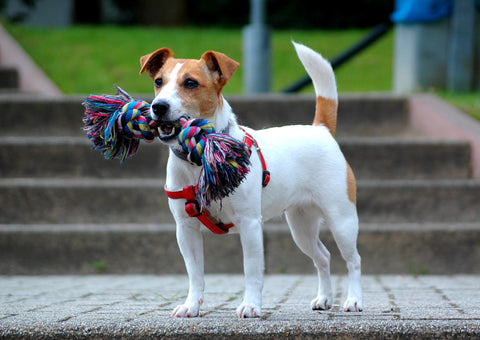 Jack Russell Terrier - Fun Facts and Crate Size