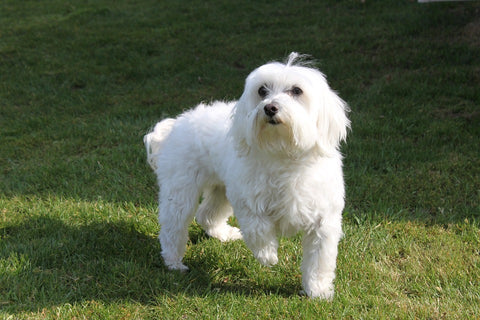 Maltese – Fun Facts and Crate Size – Pet Crates Direct