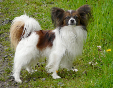 Papillon Fun Facts And Crate Size Pet Crates Direct
