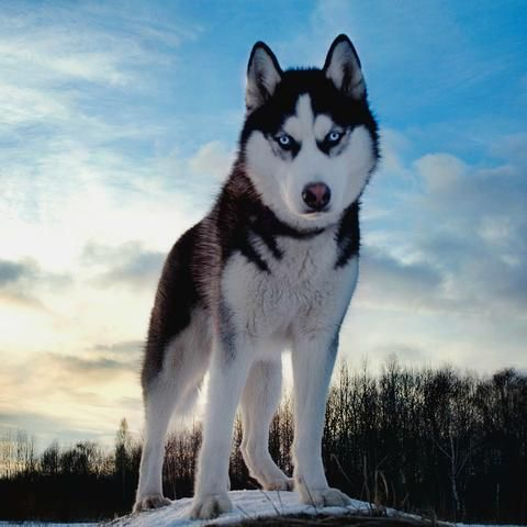 Siberian Huskies Fun Facts And Crate Size Pet Crates Direct