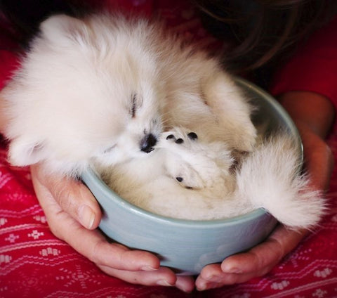 Teacup Pomeranian teddy bear dog