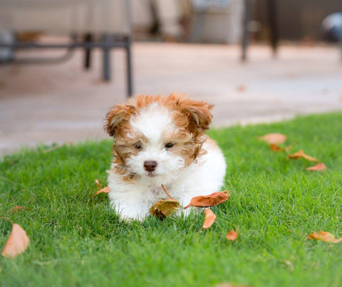 Toy Poodle Fun Facts And Crate Size Pet Crates Direct