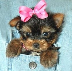 Yorkie Poo Fun Facts And Crate Size Pet Crates Direct