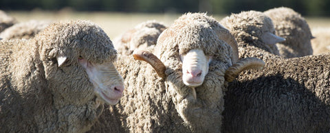 merino wool is good for the environment