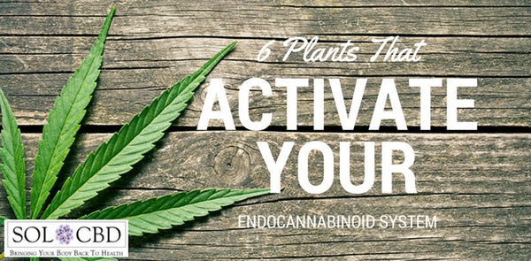 6 Plants That Activate the Endocannbinoid System