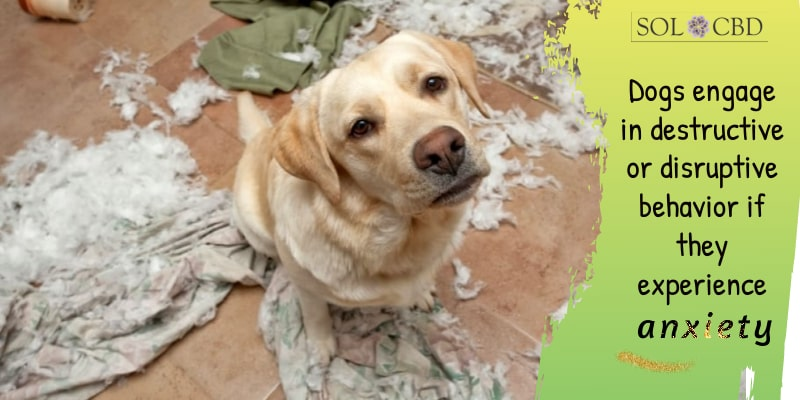 Dogs engage in destructive or disruptive behavior if they experience anxiety.